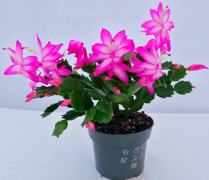 Features of Zygocactus