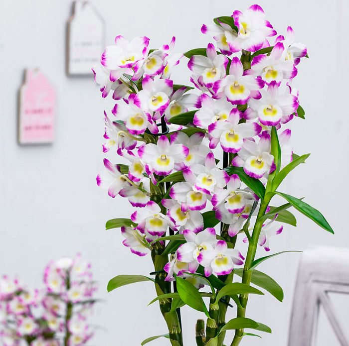 Dendrobium Orchid Care at Home