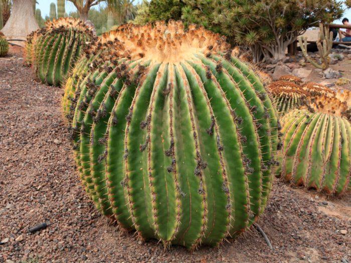 Echinocactus flat-throated