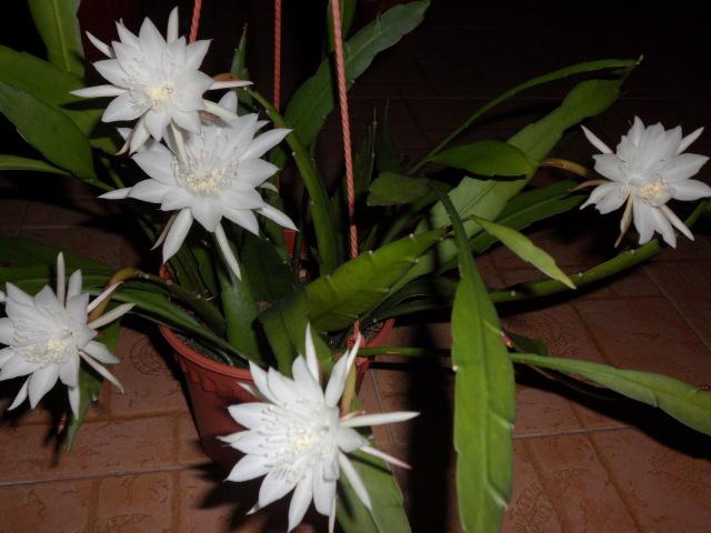 Acute-epiphyllum (Epiphyllum oxypetalum)