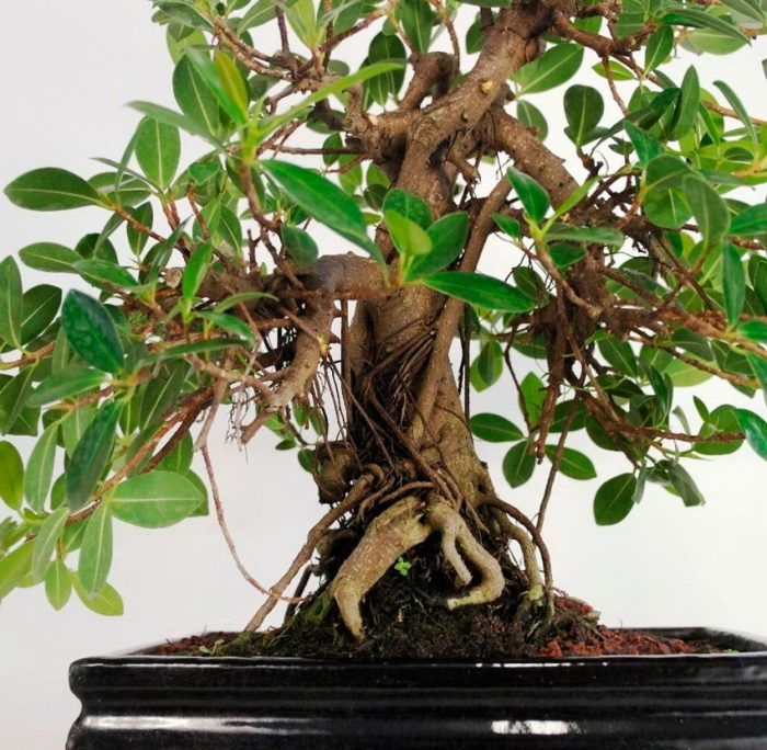 Caring for Ficus Panda at home