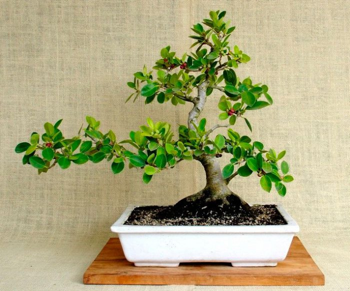 Features of Ficus Panda