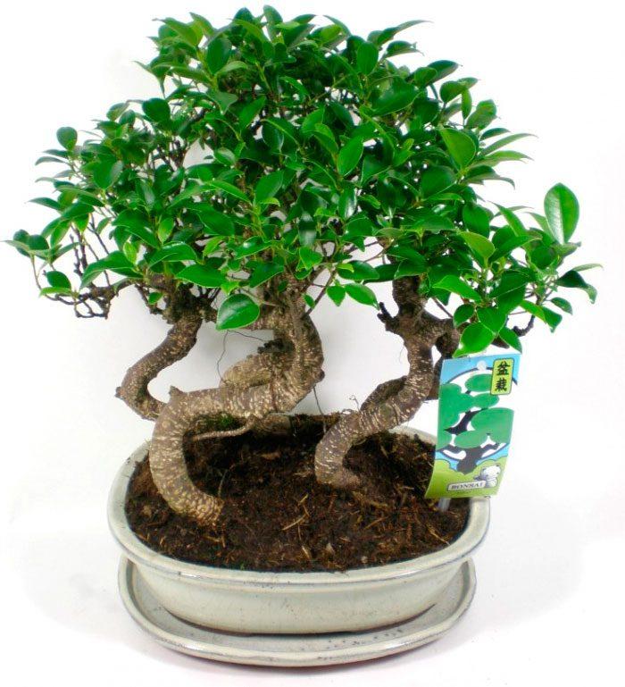Ficus Sacred