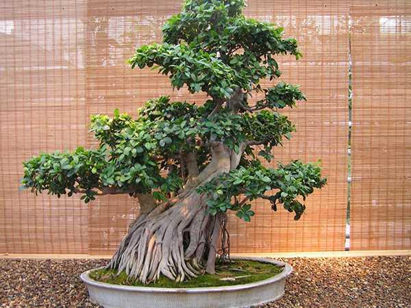 Church Of Hive Ficus Bonsai Pflege Und Wachstum Zu Hause