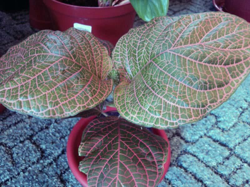 Fittonia gigantea / фиттония крупная