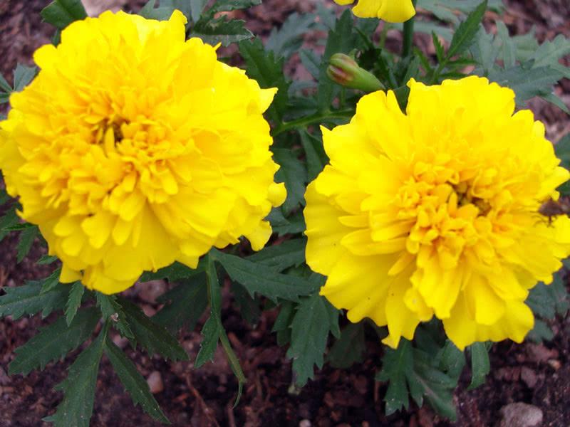 Бархатцы прямостоячие Желтый (Tagetes erecta)