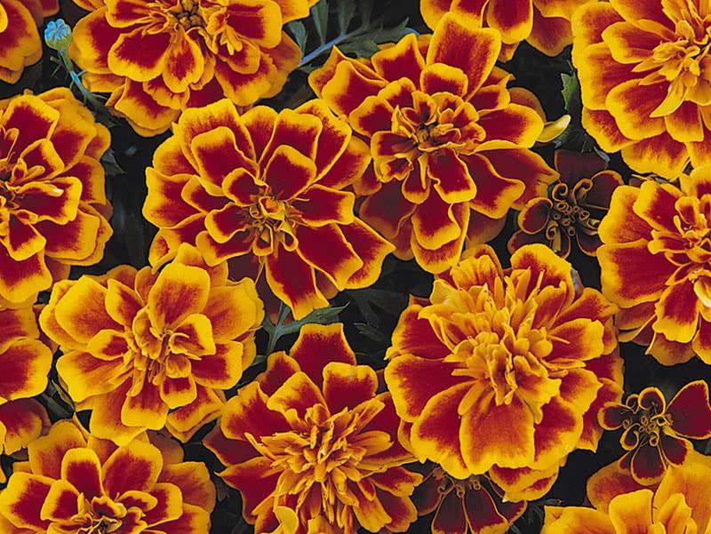 Бархатцы низкорослые (Tagetes patula Bonanza Flame)