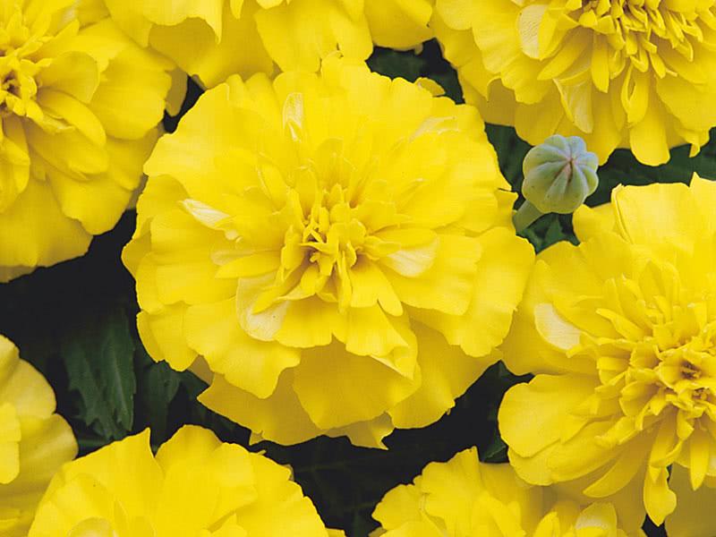 Бархатцы низкорослые (Tagetes patula Bonanza Yellow)