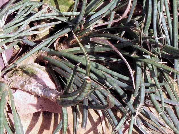 Сансевиерия изящная или грациозная (Sansevieria gracilis)