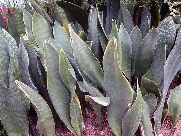 Сансевиерия большая (Sansevieria grandis)