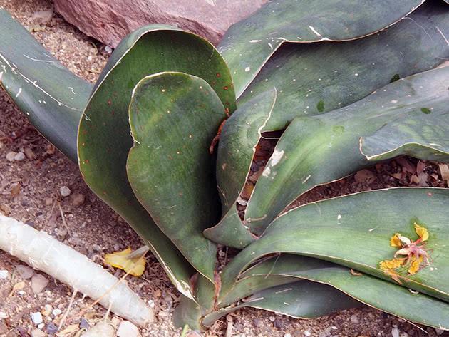 Сансевиерия гиацинтовая (Sansevieria hyacinthoides)