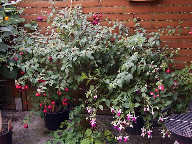 Куст фуксии в саду
