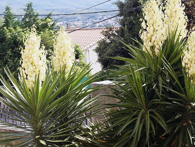 Юкка алоэлистная / Yucca aloifolia