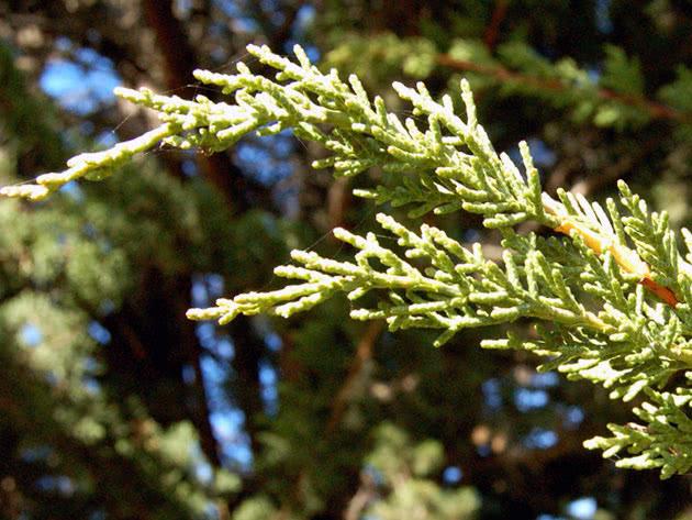 Кипарис крупноплодный / Cupressus macrocarpa