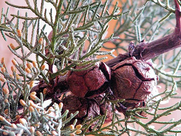 Кипарис вечнозеленый / Cupressus sempervirens