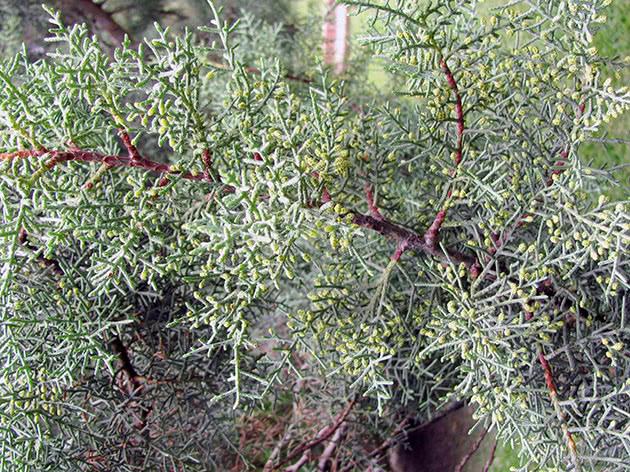 Кипарис кашмирский / Cupressus cashmeriana