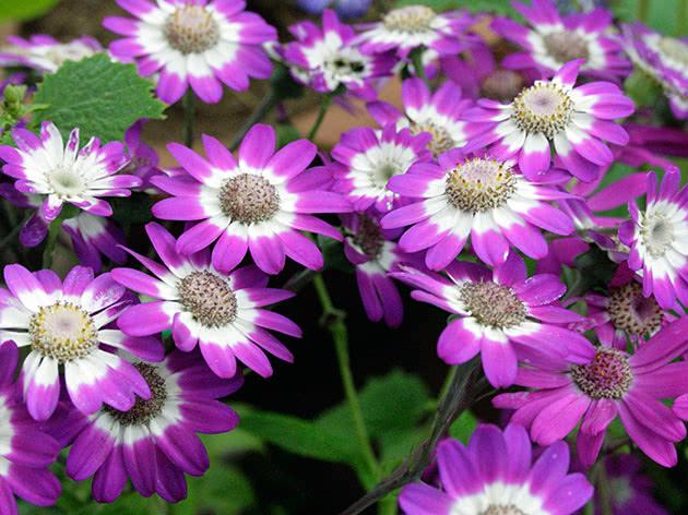 Фиолетовая цинерария