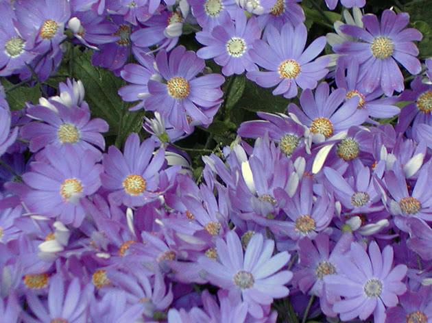 Цветы цинерарии