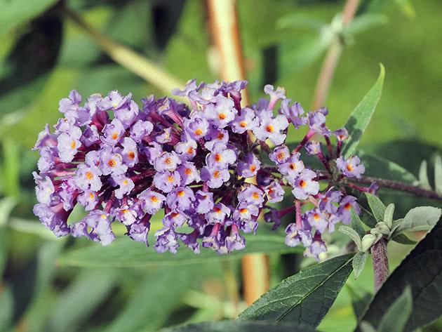 Будлея очереднолистная / Buddleja alternifolia