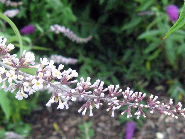 Будлея белоцветковая / Buddleja albiflora