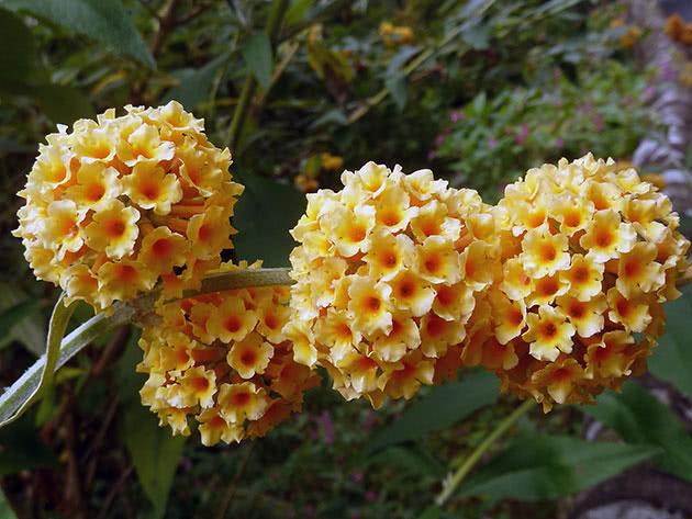 Цветы будлея
