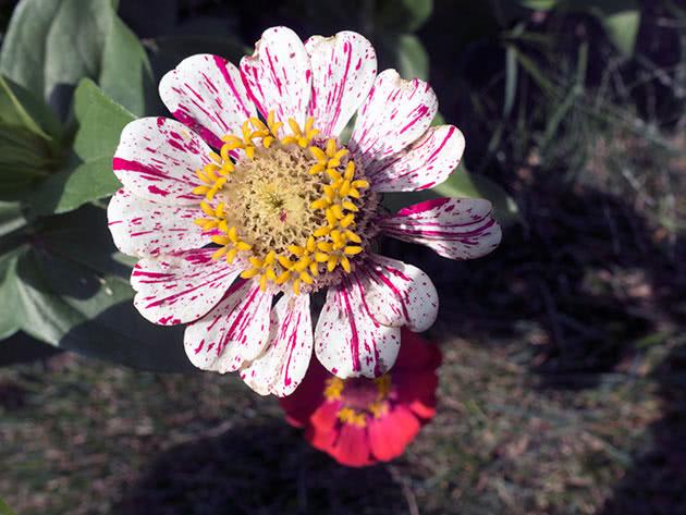 Цветение цинии в саду