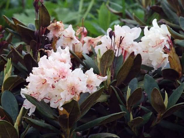 Рододендрон кавказский / Rhododendron caucasicum