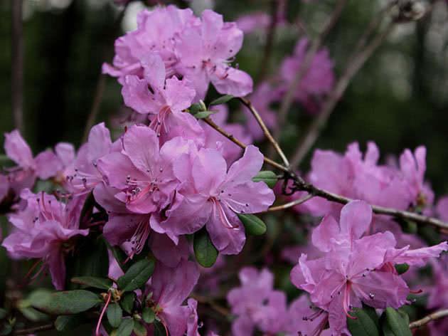 Рододендрон даурский / Rhododendron dahuricum
