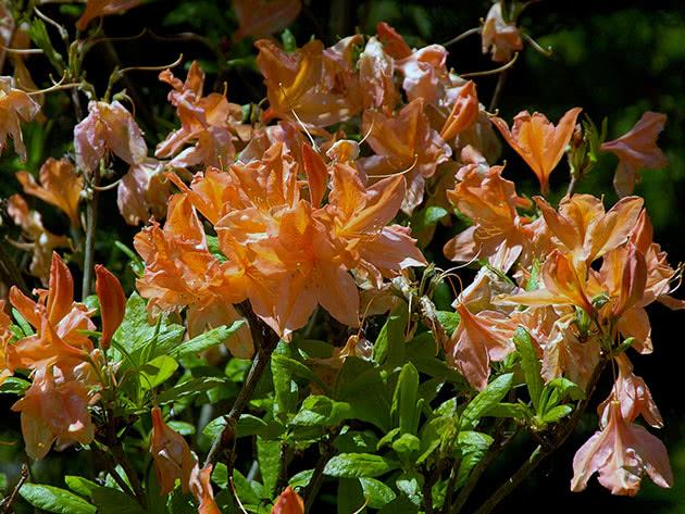 Рододендрон японский / Rhododendron japonicum