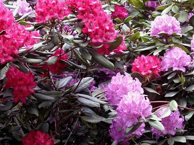 Рододендрон в саду цветет