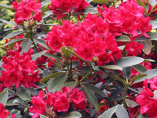 Цветущий садовый рододендрон