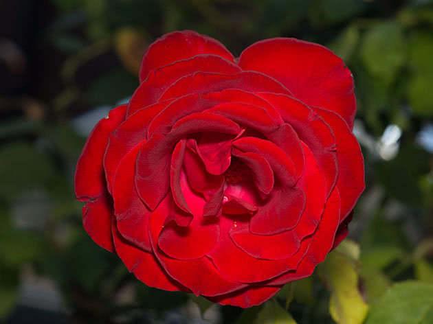 Уход за розами в ноябре