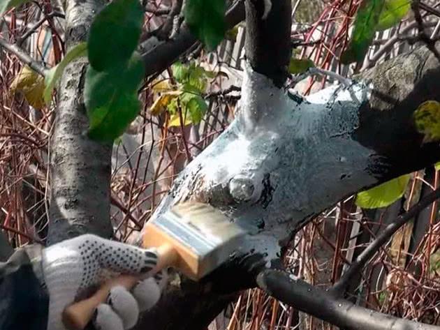 Правильная осенняя побелка деревьев