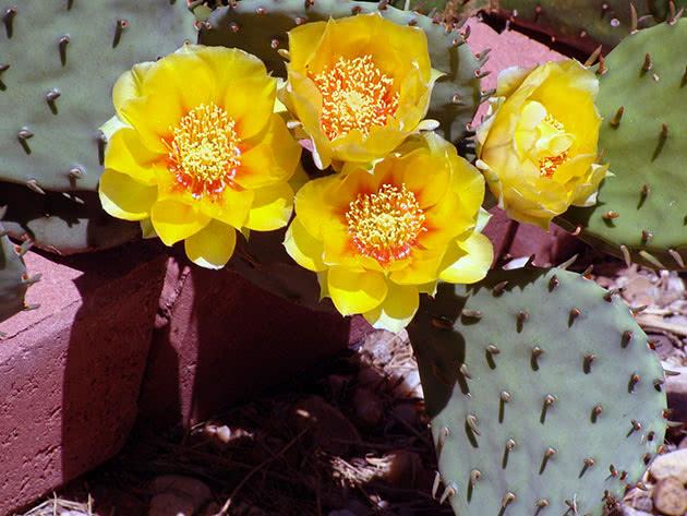 仙人掌(Opuntia compressa)