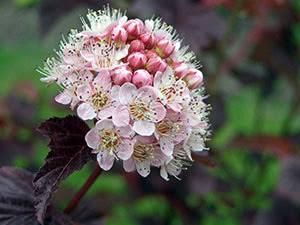 physocarpus opulifolius0
