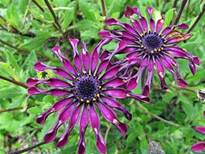 Выращивание остеоспермума в саду