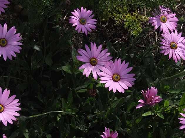 Markiertes Osteospermum (Osteospermum jucundum)
