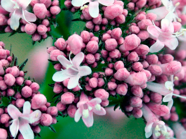 Planting and caring for Valerian