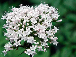 Valerian - application and cultivation