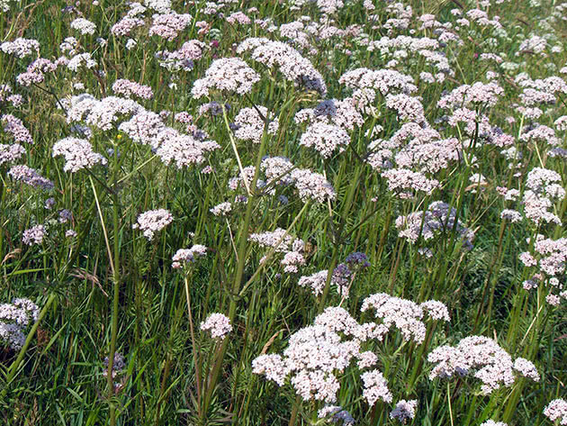 Useful properties of valerian and contraindications