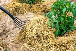 Straw mulching