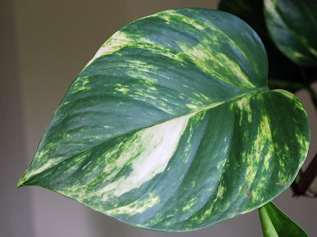 Эпипремнум золотистый (Epipremnum aureum)